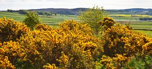flores de tojo afilado amarillo arbusto brillante campo campos espiga espina flor floracin paisaje tojo verano vibrante vvido