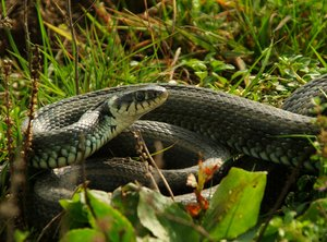 Serpiente / Natrix natrix)